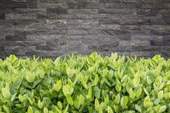 Ixora树  在庭院装饰和石头wa的热带花 免版税库存图片