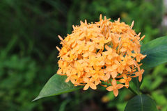 Ixora橙色花在绿色公园 免版税库存照片