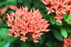 Ixora红色花在绿色公园 免版税库存图片