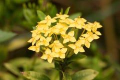 Ixora花在泰国的庭院里。 库存图片