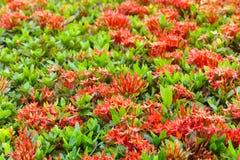 Ixora è un genere delle angiosperme nella famiglia di rubiaceae Immagini Stock Libere da Diritti