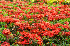 Ixora è un genere delle angiosperme nella famiglia di rubiaceae Immagine Stock