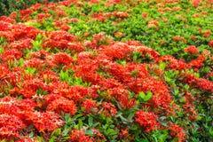 Ixora è un genere delle angiosperme nella famiglia di rubiaceae Immagini Stock