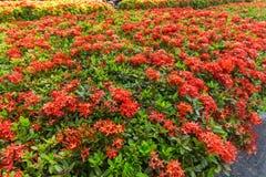 Ixora è un genere delle angiosperme nella famiglia di rubiaceae Immagine Stock Libera da Diritti