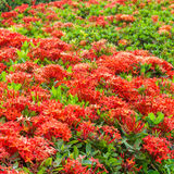Ixora è un genere delle angiosperme nella famiglia di rubiaceae Fotografie Stock