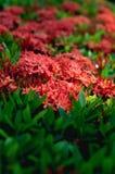 Ixora εκλεκτική εστίαση λουλουδιών coccinea τροπική Στοκ εικόνες με δικαίωμα ελεύθερης χρήσης