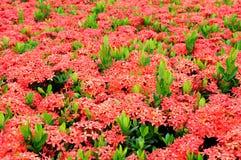 ixora λουλουδιών στοκ εικόνες με δικαίωμα ελεύθερης χρήσης
