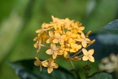 ixora λουλουδιών κίτρινο Στοκ Εικόνες