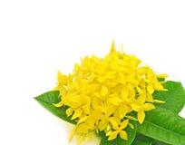 ixora λουλουδιών στοκ φωτογραφία με δικαίωμα ελεύθερης χρήσης