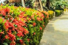 Ixora в саде Стоковая Фотография