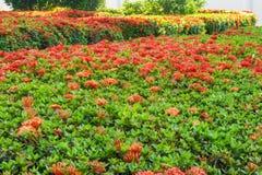 Ixora род цветковых растений в семье Rubiaceae Стоковые Изображения