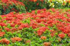 Ixora род цветковых растений в семье Rubiaceae Стоковое Изображение