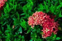 ixora цветка Красный цветок шипа Король Ixora зацветая Ixora chinen Стоковая Фотография