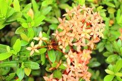 ixora цветка Стоковая Фотография RF