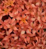 ixora цветка Стоковые Фотографии RF
