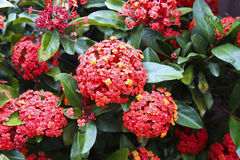 Ixora Royalty Free Stock Photography