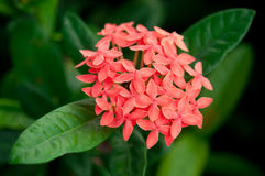 Ixora Stock Photo