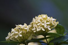 Ixora Royalty Free Stock Photos