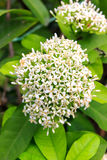 Ixora Stock Photos