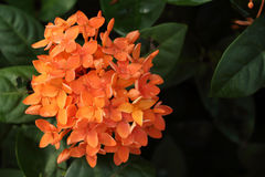 Ixora Foto de Stock Royalty Free