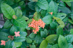 Ixora photo stock