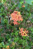 Ixora beauty flower Stock Photos