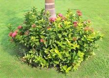 Ixora blommor och träd Royaltyfri Foto