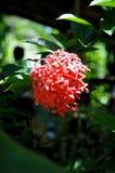 Ixora Blume stockfotografie