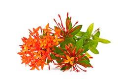 Ixora Blume Stockfoto