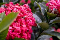 Ixora Blume Lizenzfreies Stockbild