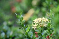 Ixora-Blume im Garten Stockbilder