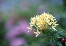 Ixora-Blume im Garten Stockfotos