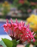 Ixora Blumen Stockfoto