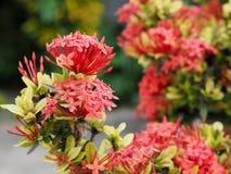 Ixora-Blumen im Park von Thailand Stockfotos