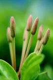 Ixora Buds Stock Images