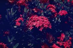 Ixora chinensis κινεζικό Ixora στοκ φωτογραφία με δικαίωμα ελεύθερης χρήσης