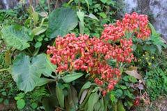 Ixora Chinensis Стоковые Фотографии RF
