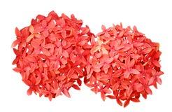 Free Ixora Chinensis Flower Stock Photography - 48879102