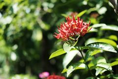Ixora chinensis lamk or Red West Indian Jasmine flower. In garden Royalty Free Stock Image