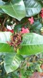 Ixora Chinensis zaad met mier stock afbeeldingen