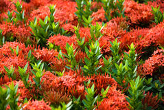 Ixora coccinea Royalty Free Stock Images