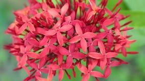Ixora Coccinea Jungle Geranium Stock Footage HD. Ixora coccinea also known as jungle geranium, flame of the woods or jungle flame ornamental garden flowers in stock video
