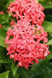 Ixora Coccinea Royalty Free Stock Photos