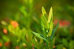 Ixora Coccinea. Closeup Of Red Ixora Coccinea Stock Photo