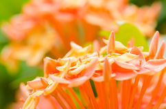 Ixora coccinea Stock Images