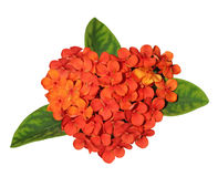 Ixora coccinea Flower Royalty Free Stock Photos