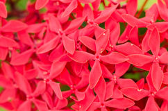 Ixora coccinea flowers Stock Photo