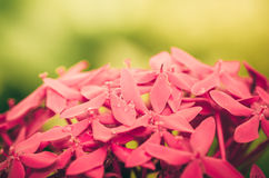 Ixora coccinea flowers vintage Royalty Free Stock Image