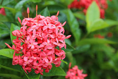 Ixora Coccinea or Jungle Geranium Flower Stock Photos