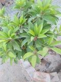 IXORA COCCINEA KWIATONOŚNE rośliny fotografia royalty free